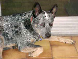 Jasper an Australian Cattle Dog