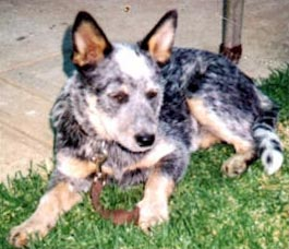 Sheba an Australian Cattle Dog
