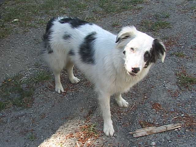 Dog Ready For Adoption German Shepherd Dog Border Collie Mixed Picture ...