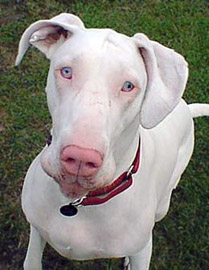 Miss Olyvia a Great Dane