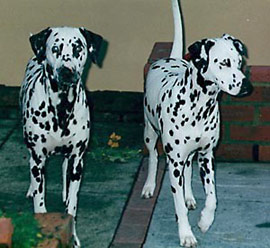 Bonnie and Fleur, the Dalmatians
