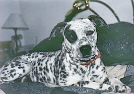 pit bull mix dalmation