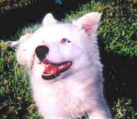 Photo of Samantha, a white Border Collie puppy