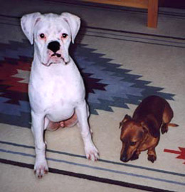 Photo of Felix, a white Boxer, and Oscar, a Dachshund